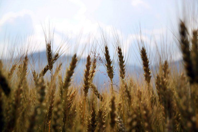 Повышен прогноз мирового производства зерна