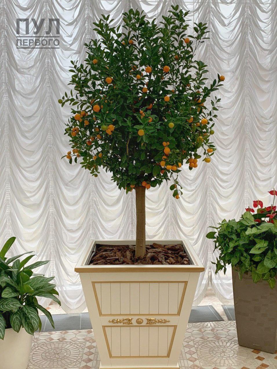 Во дворце Лукашенко выросли мандарины
