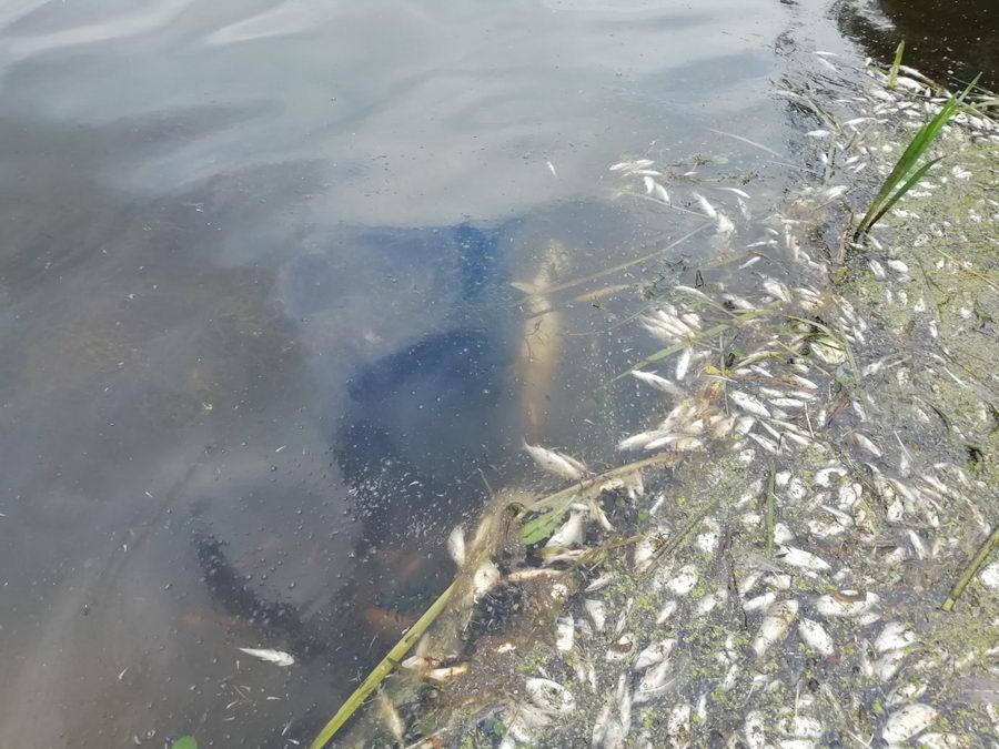 В Немане произошел массовый мор рыбы