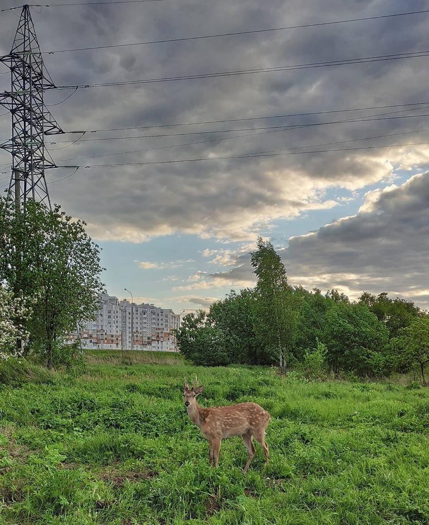 Косулю заметили в Лошице в Минске